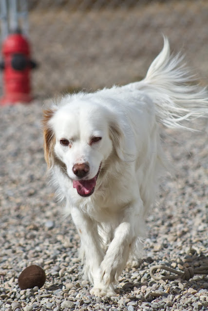 >Kaity {Setter Cross} - Adopted
