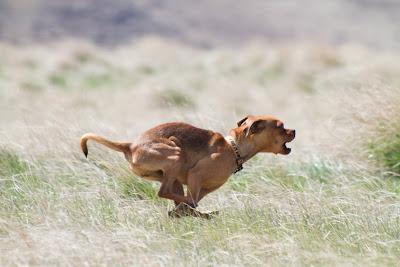 Lola >Full Speed Ahead   ADOPTED