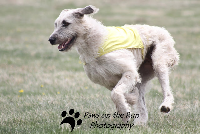Wolfhound 3 Irish Wolfhound – Lure Coursing