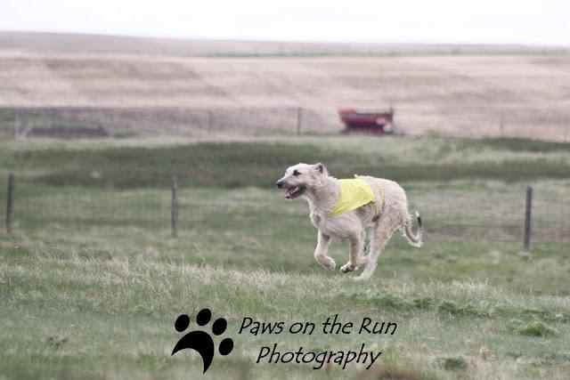 Wolfhound Irish Wolfhound – Lure Coursing