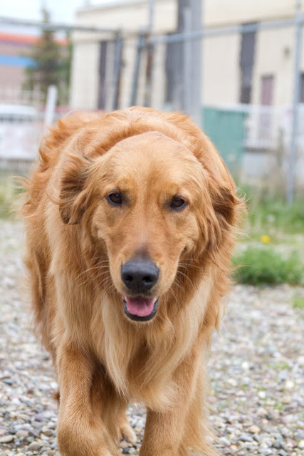 >Parker {Golden Retriever} - ADOPTED