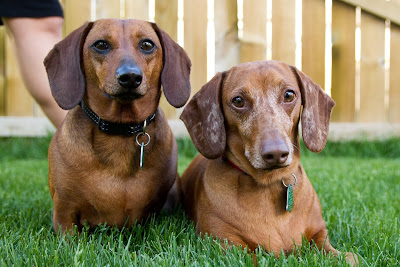>Tater and Cooper {Miniature Dachshunds} - ADOPTED