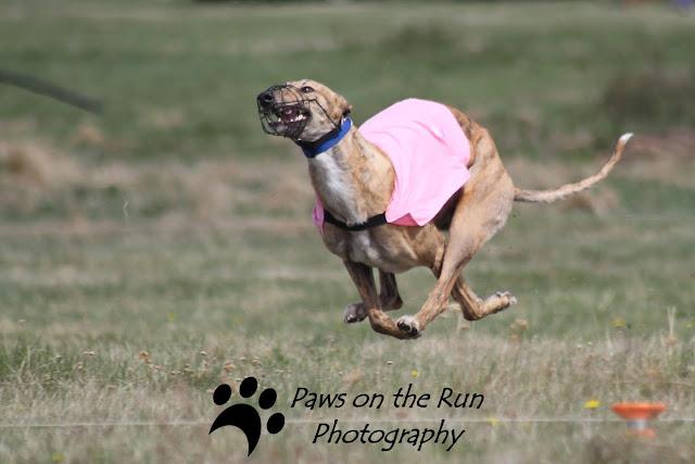 Greyhounds 3 Greyhounds – Lure Coursing