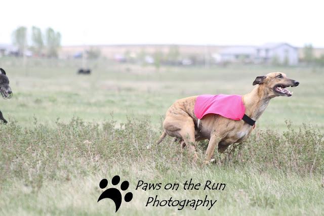 Greyhounds 2 Greyhounds – Lure Coursing