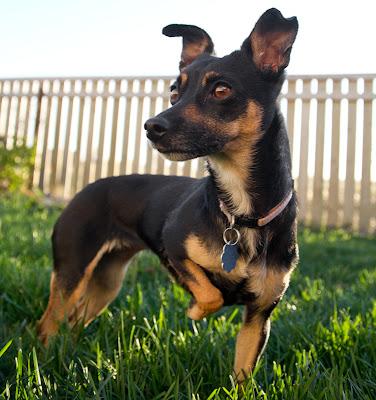 Molly 7 >Molly   Min Pin/Chihuahua Cross   Adopted