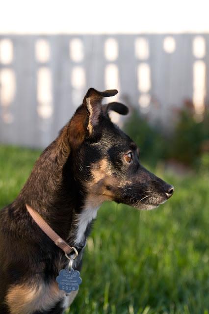 Molly 3 >Molly   Min Pin/Chihuahua Cross   Adopted