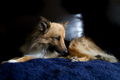 Billy 2 >Billy {Shetland Sheepdog/Pomeranian Cross}   Adopted
