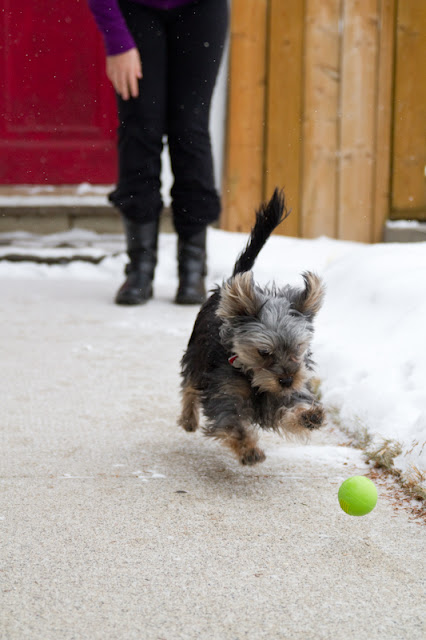 Linc 1 >Linc {Yorkshire Terrier}   ADOPTED