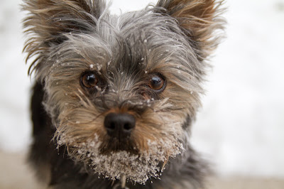 Linc 9 >Linc {Yorkshire Terrier}   ADOPTED