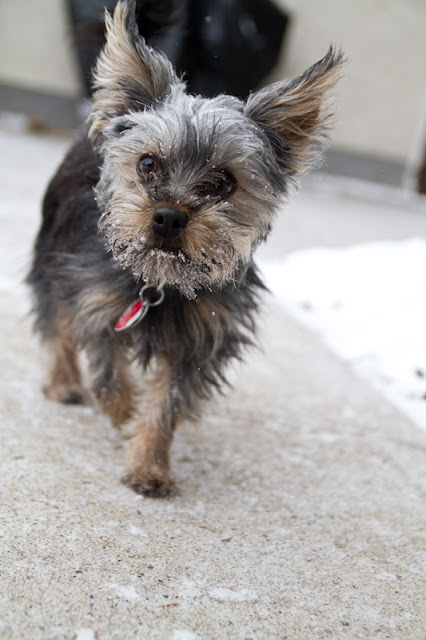 Linc 15 >Linc {Yorkshire Terrier}   ADOPTED