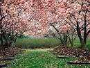 [árboles+rosados]