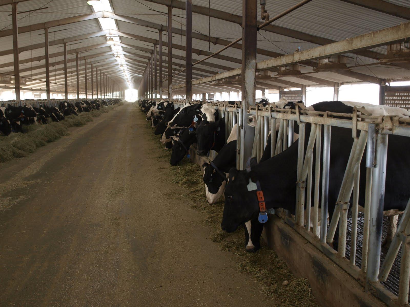 Dairy Farming in Israel Dairy Farm