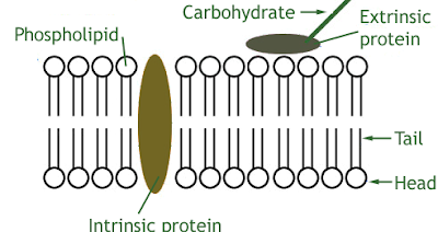 cell plasma membrane