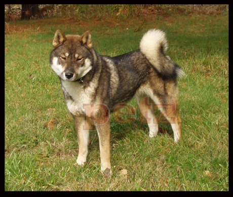 Image Result For Siberian Husky Protection