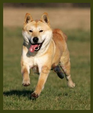Korea Jindo Dog Korea Jindo Dog Jindo Dog Chindo