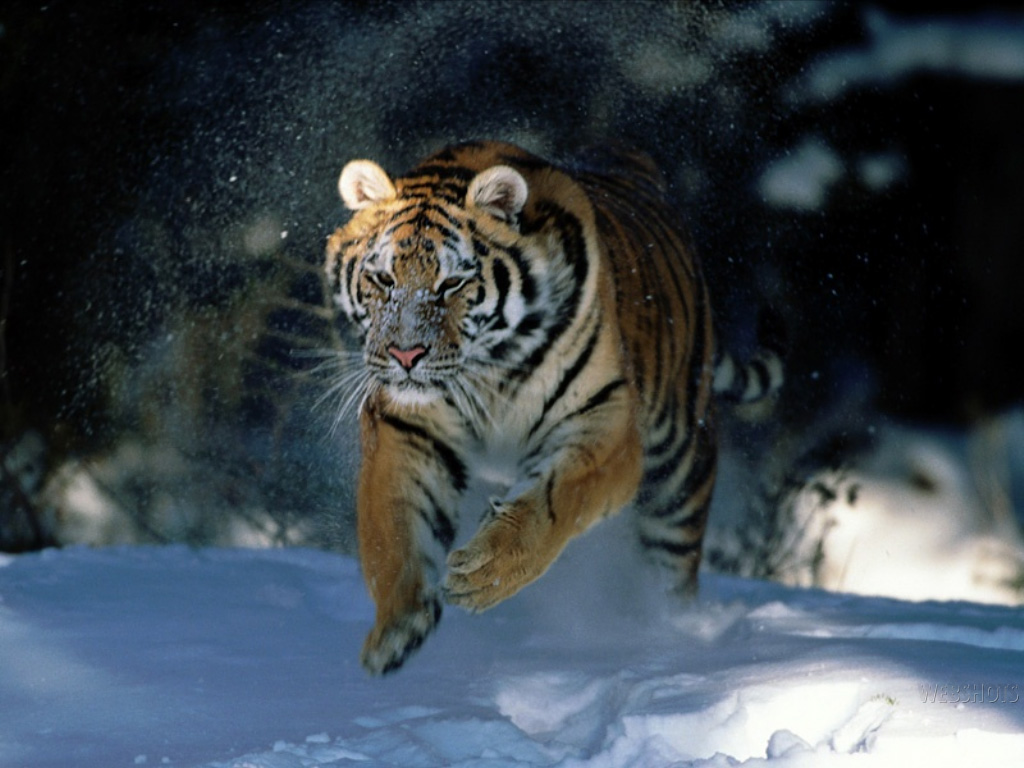 You are viewing the Tigers wallpaper named In a Hurry White Tiger.