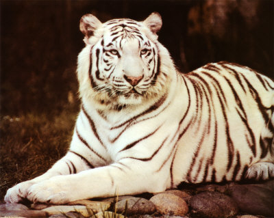 white tiger wallpaper. Best White Tiger Wallpapers
