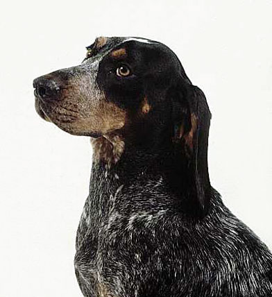 America coonhounds in the