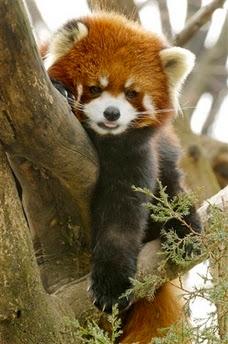 Rare red panda Mao Mi