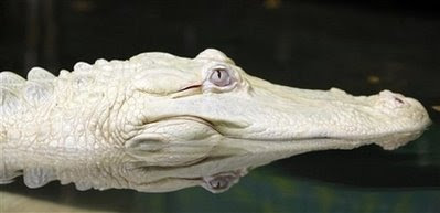 germany albino alligator