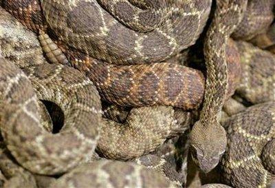 Animal: rattlesnake.