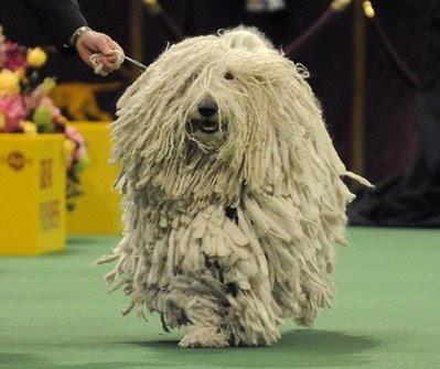 Pets: a Komondorak
