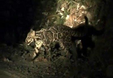 Animal: Sundaland clouded leopard.