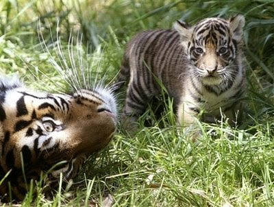baby Sumatran tiger