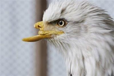 Pets: eagle