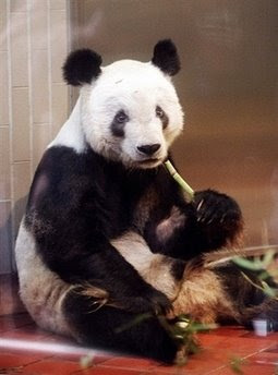 Japan's oldest giant panda: animals and pets