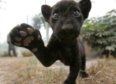 pets Panthera Onca