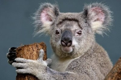 Animals: Kaola