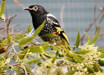Animals: regent honeyeater.