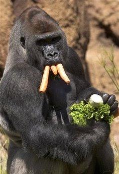 Animals: silverback gorilla.