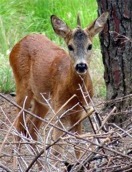 Animal: deer.