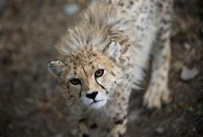 animal: cheetah.
