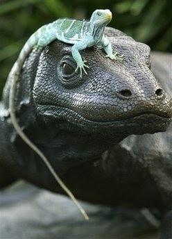 Animal: iguana.