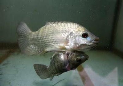 Two conjoined nile tilapia fish animals and pets for Tilapia aquarium
