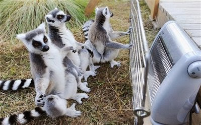 Animals: Ring-tailed lemurs