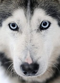 Animal: husky.
