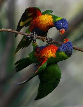 Animals: Rainbow Lorikeet.