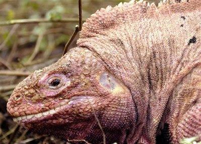 Animal: Pink land iguanas