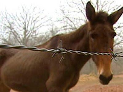 Animal: Lou the mule.