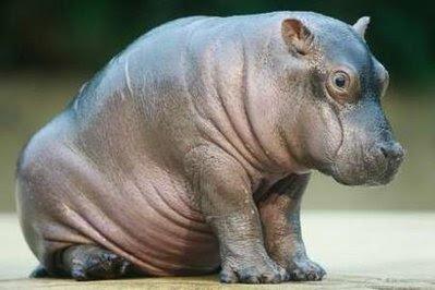 Animal: hippopotamus.