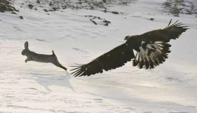 Animals: A tame golden eagle chases a hare.