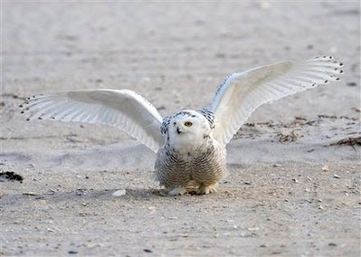 Animal: young male snowy owl.