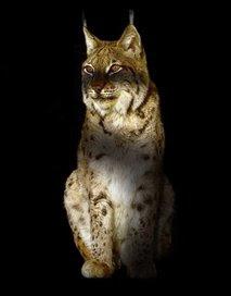 Animal: balkan lynx.