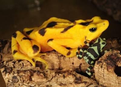 Animals: golden frog toadlet.