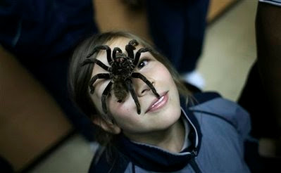 Animal: Spider  Xenesthis immanis tarantula.