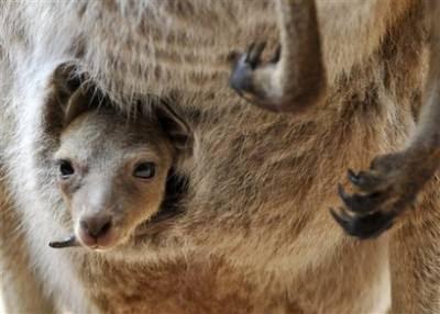 Animal: kangaroo (macropus fuliginosus).